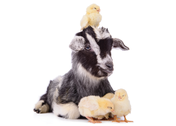 Goat and flock of chicks