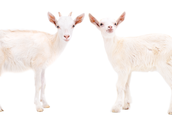 Pair of Goats